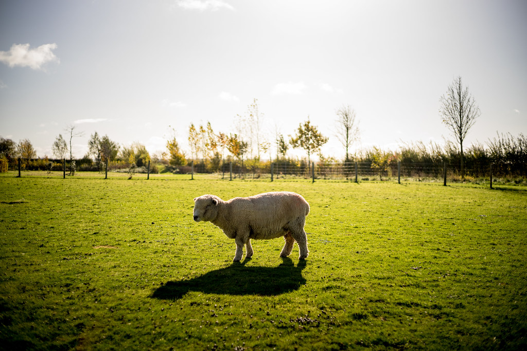 South Farm Sheepy