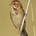 reed bunting 53 2017