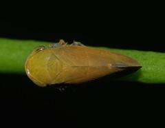 Bronze olive spur legged plant hopper Ipoini sp Cicadellidae Airlie Beach rainforest P1050184