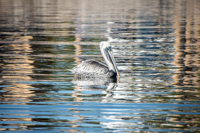 Brown pelican & reflections