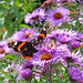 Red Admiral and Asters