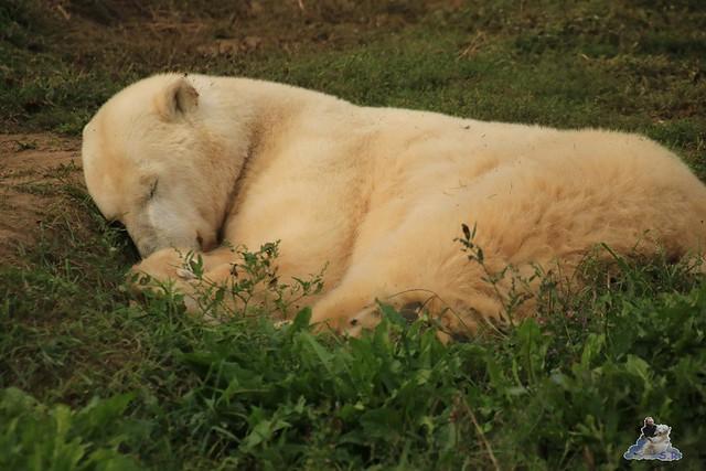 Eisbär Fiete im Sosto Zoo 30.09.2017 028