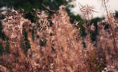 rosebay in autumn
