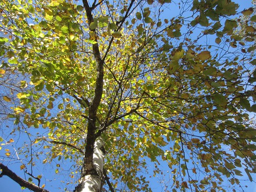 sunny birch
