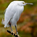 Snowy Egret by dpsager