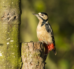 great spotted woodpecker m.