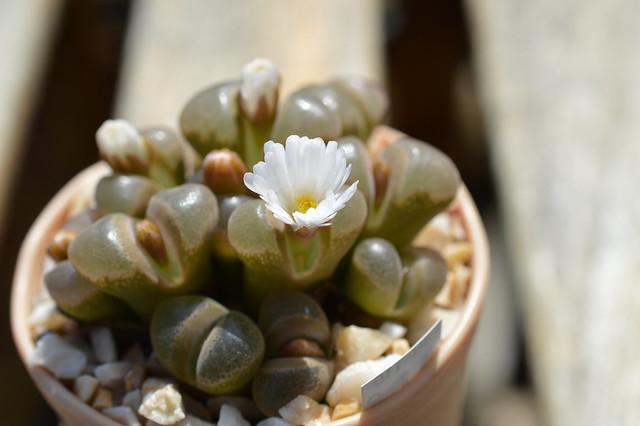 DSC_6603 Ophthalmophyllum verrucosum オフタルモフィルム ベルコーサム