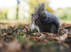 Regent's Park #london #regentspark #squirrels #wildlife #autumn #leaves #sonyalpha #sonyalpha6000 #nature #fall #happiness #35mm #prime #lightroom #tones #fade #chloe #trees