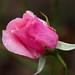Pink rose 'Dancing queen' (バラ 'ダンシング クィーン')