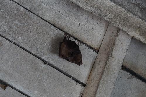 Greater Horseshoe Bats / Grand Fer-à-cheval / Frigribell Vras