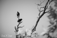 HIKER'S OMEN: A pair of vultures, perched at the ...
