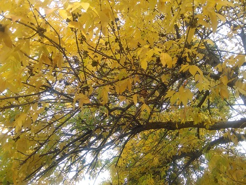 Yellow leaves above #toronto #dovercourtvillage #dovercourtroad #fall #autumn #yellow #leaves