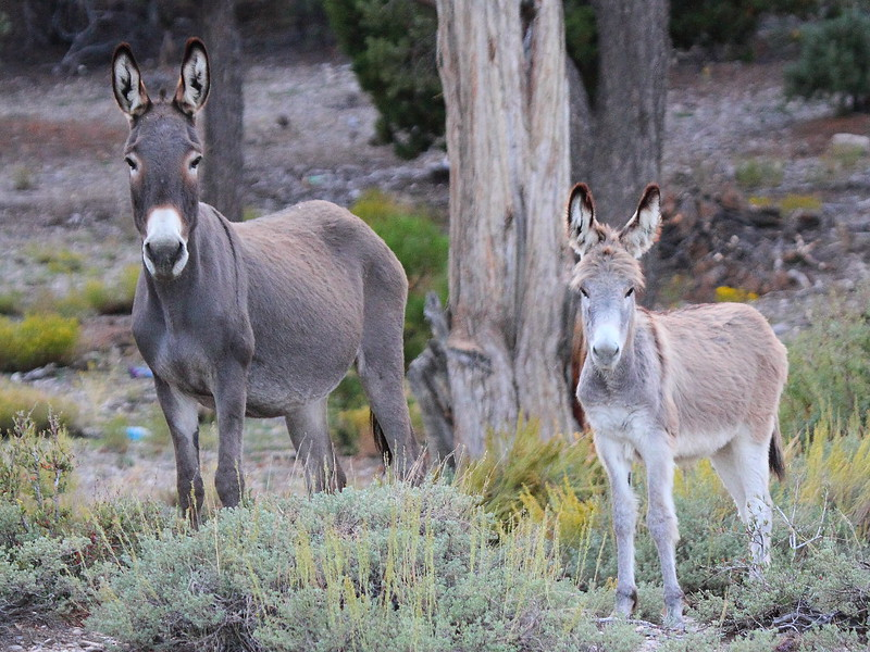 IMG_4297 Burros, Spring Mountains National Recreation Area
