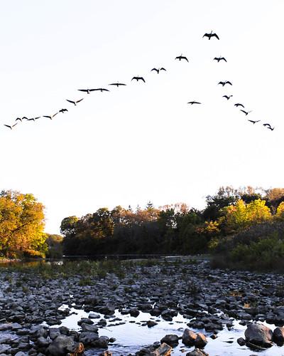 canada summersend toronto autumn fall humber river etobicoke jamesgardens canadiangeese oquinn ontario dusk sunset park humberriver migration flyv formation honk