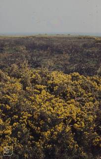 Effect of gorse fires. St Agnes. April 1973