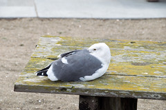 western gull Larus occidentalis (1 of 2)