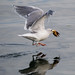 Glaucous-winged Gull with Starfish by wanderinggrrl