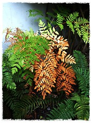 🍁🍂Ferns changing into  autumn colours 🍁🍂