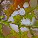 holy leaf