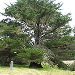 Cupressus macrocarpa tree