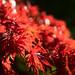 Red leaves in full