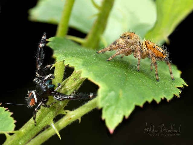 What's Better Than A Jumping Spider?