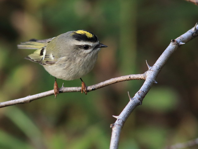 Golden-crowned Kinglet 03-20171010