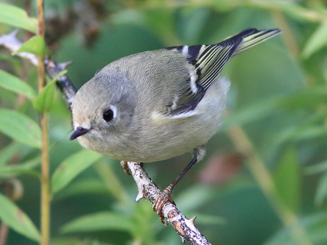Ruby-crowned Kinglet 02-20171010