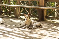 Cambodian Doggo
