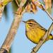 Palm warbler, Cove Island by JEO126