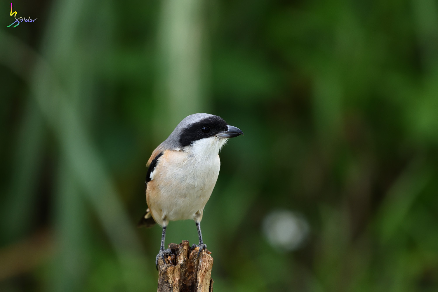 Long-tailed_Shrike_0733