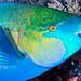 Rusty Parrotfish, terminal phase - Scarus ferrugineus