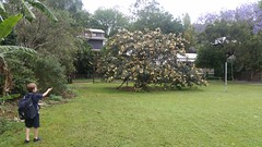 Ice Cream Beans tree flowering  (Inga edulis)  in the local park