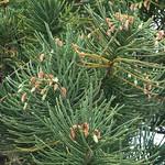 Araucaria columnaris male cones