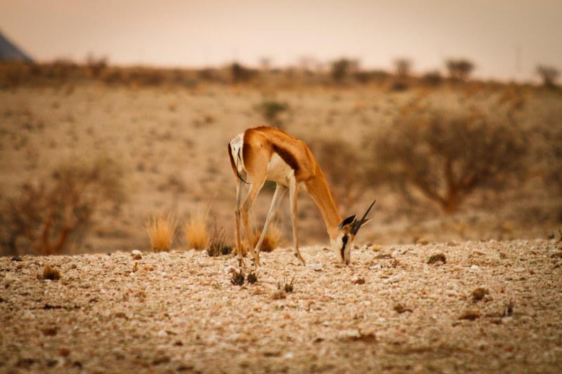 Fressendes-Springbock-Farm-Safari-Namibia