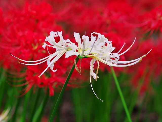 A white spider lily among red spider lilies