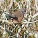 P1200422b Dartford Warbler