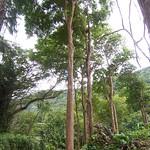 Bischofia javanica trees