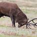 Red Deer Stag 14 Pt Cervus elaphus 011-1
