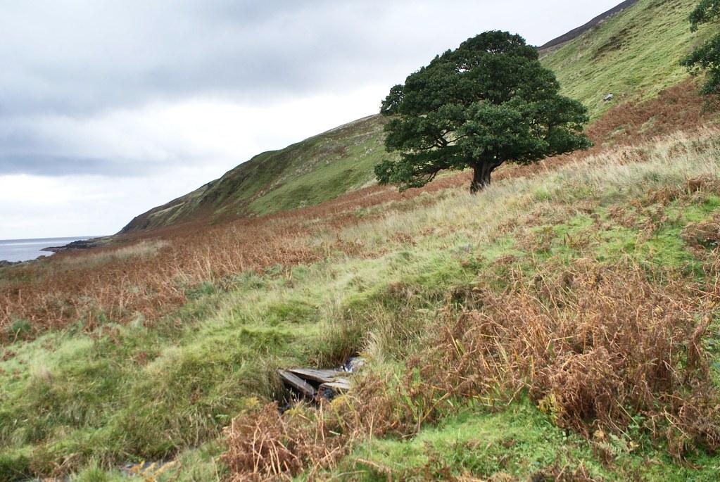 Un magnifique chêne perdu dans la lande à Arran.