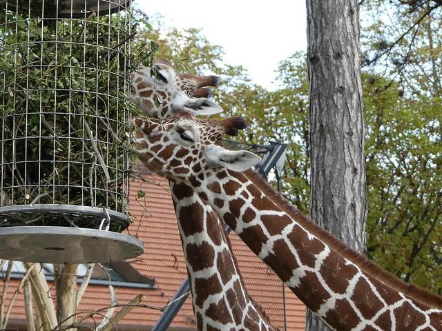 Giraffe, Tiergarten Schönbrunn