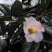2017 Camellia