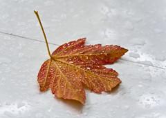 Wet Leaf on the Hood