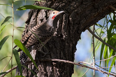 Northern Gilded Flicker