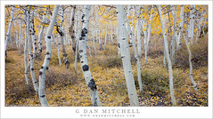 Within The Aspen Grove