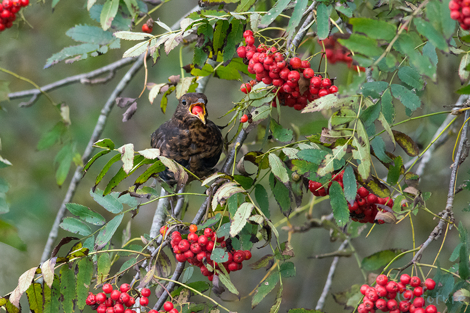 Musträstas, Turdus, merula, Common, Blackbird, Eurasian, Black, Thrush, Estonia, Kaido Rummel, rästas