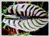 Alocasia cuprea (Giant Caladium, Elephant's Ear, Jewel Alocasia)