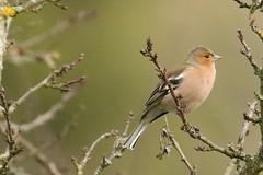 Pinson des arbres (Fringilla coelebs - Common Chaffinch)