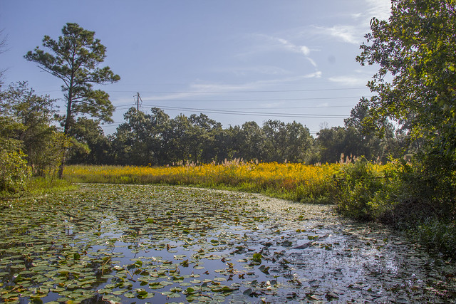 Swamp Sunflowers_28