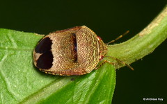 Shield-backed bug, Symphylus sp., Scutelleridae